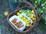 Taste the Waste - leckere Tomaten, gerettet vor der Krautfäule, 20. Aug. 2011, Weilbach, Hiltruds Biogarten; Foto / Copyright Astrid Johann